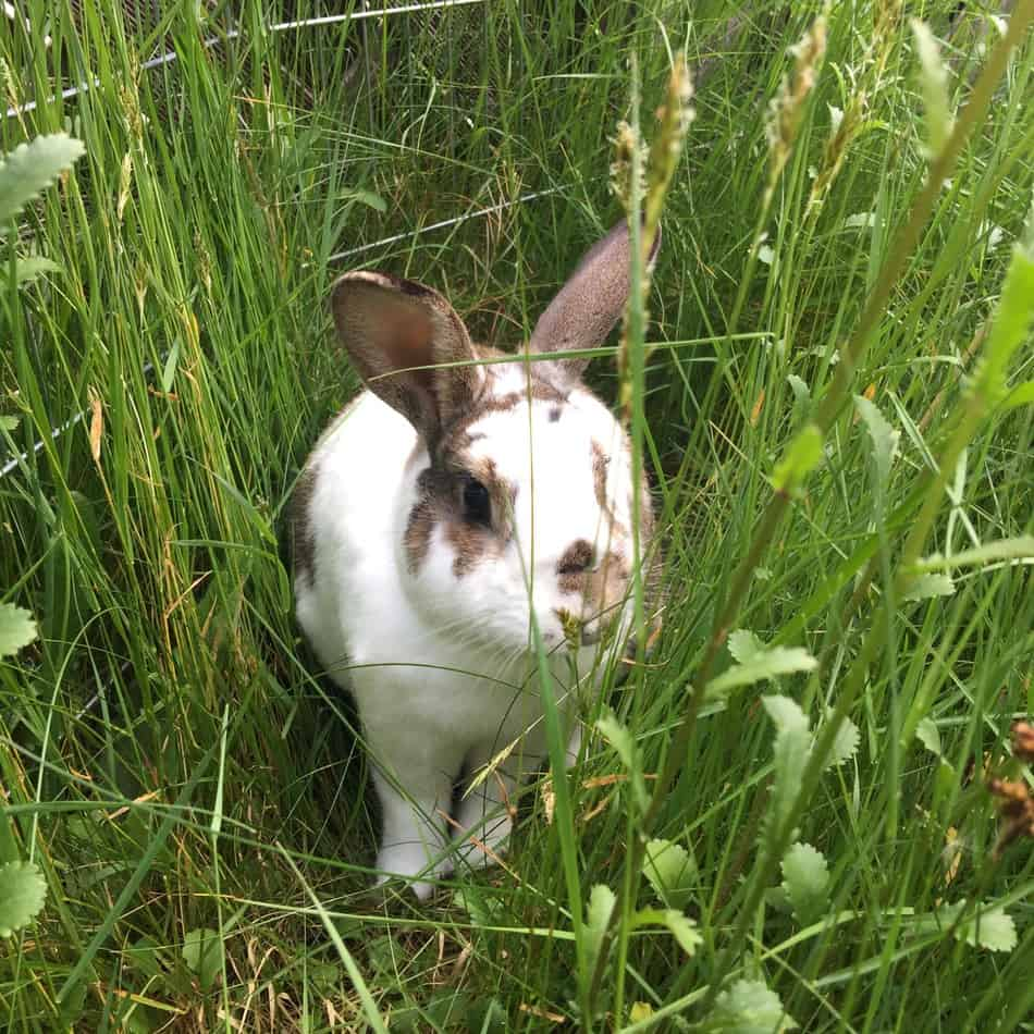 Outdoor rabbit