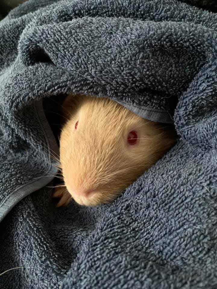 Red Eye Guinea Pig in Cover