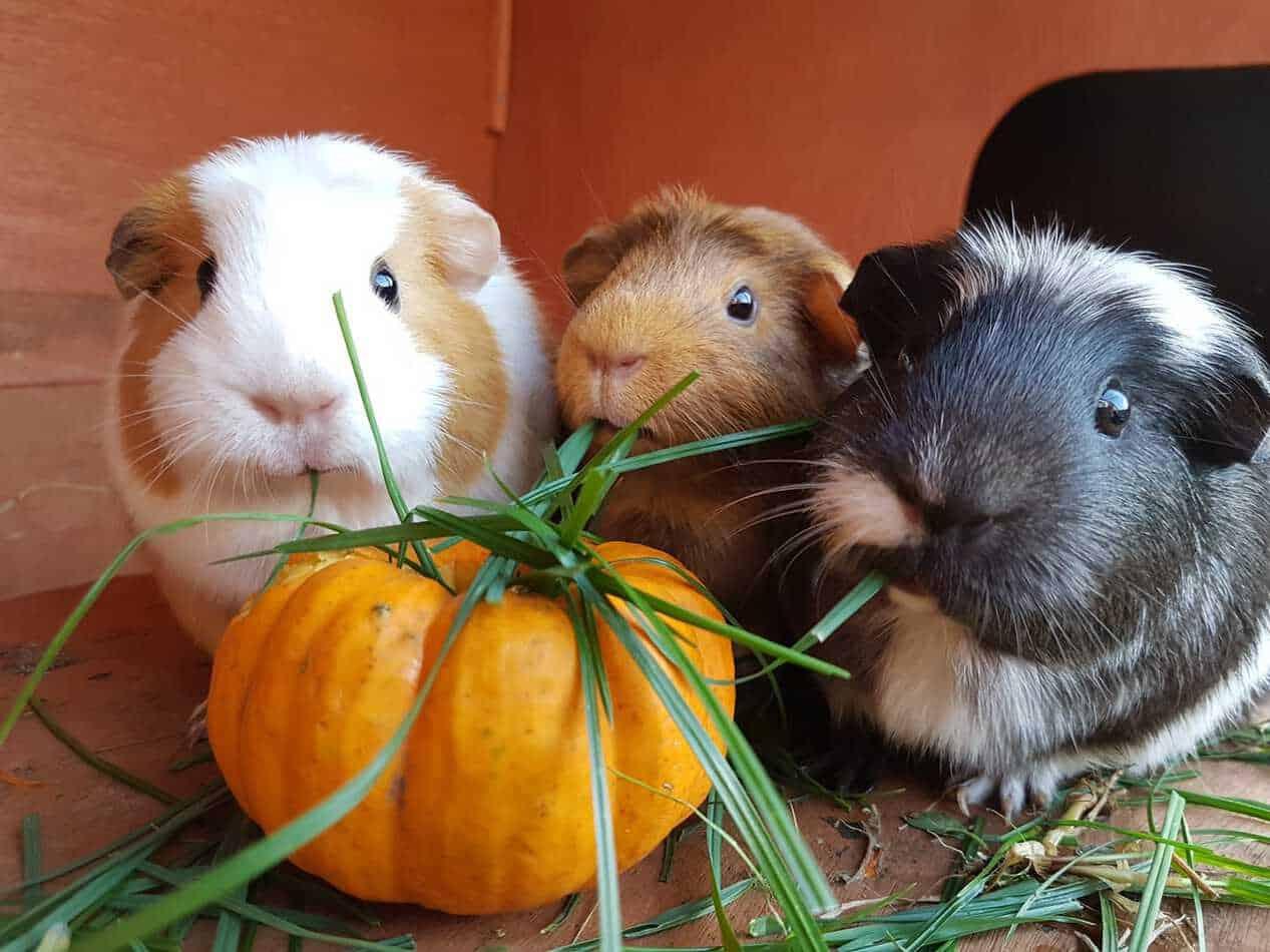 Three Guinea Pig eating grass