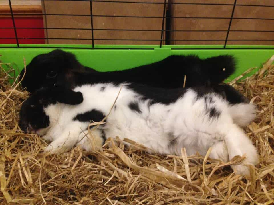Two Rabbits Lying