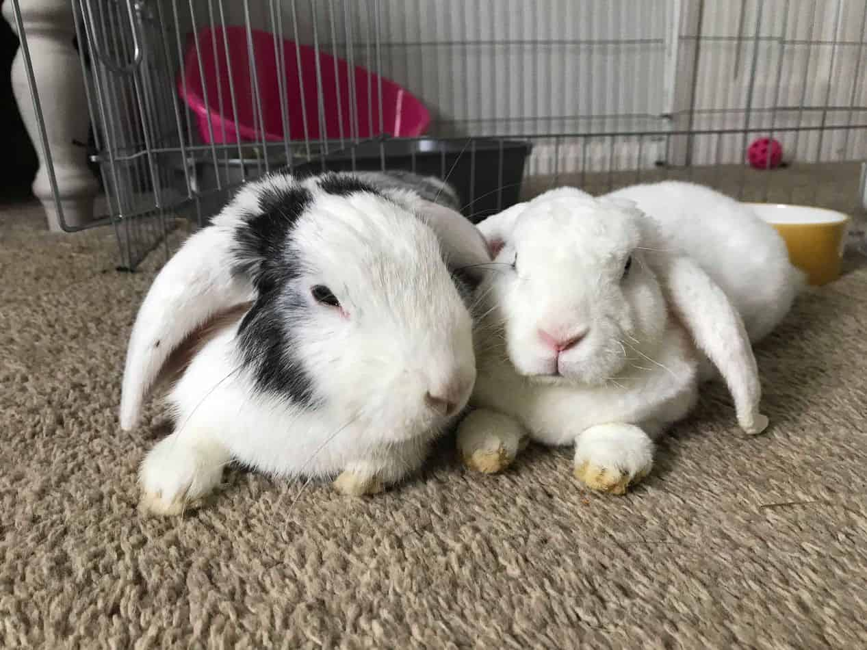 Two Rabbits cuddled