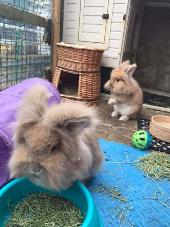 Two fluffy rabbits
