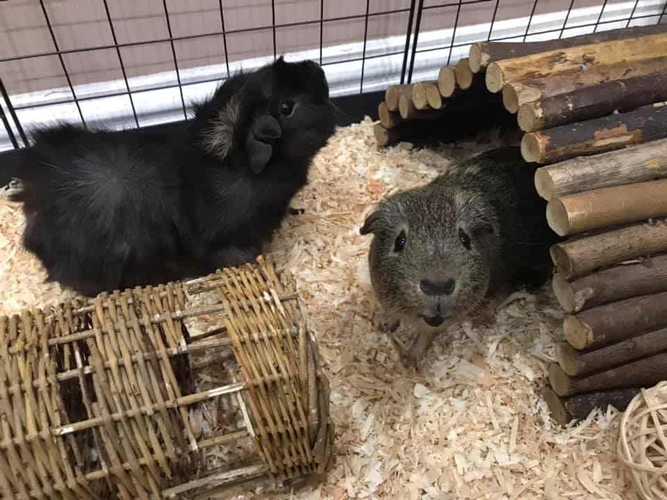 Very cute Guinea Pigs