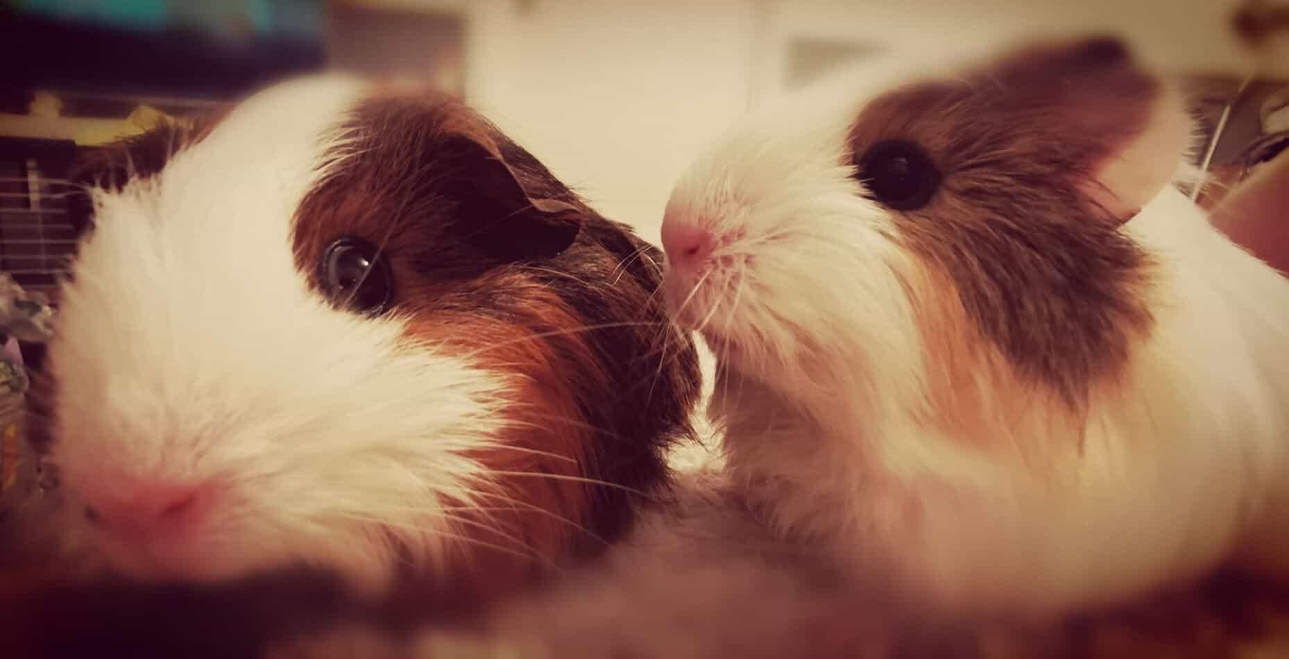 professional photos of two Guinea Pigs