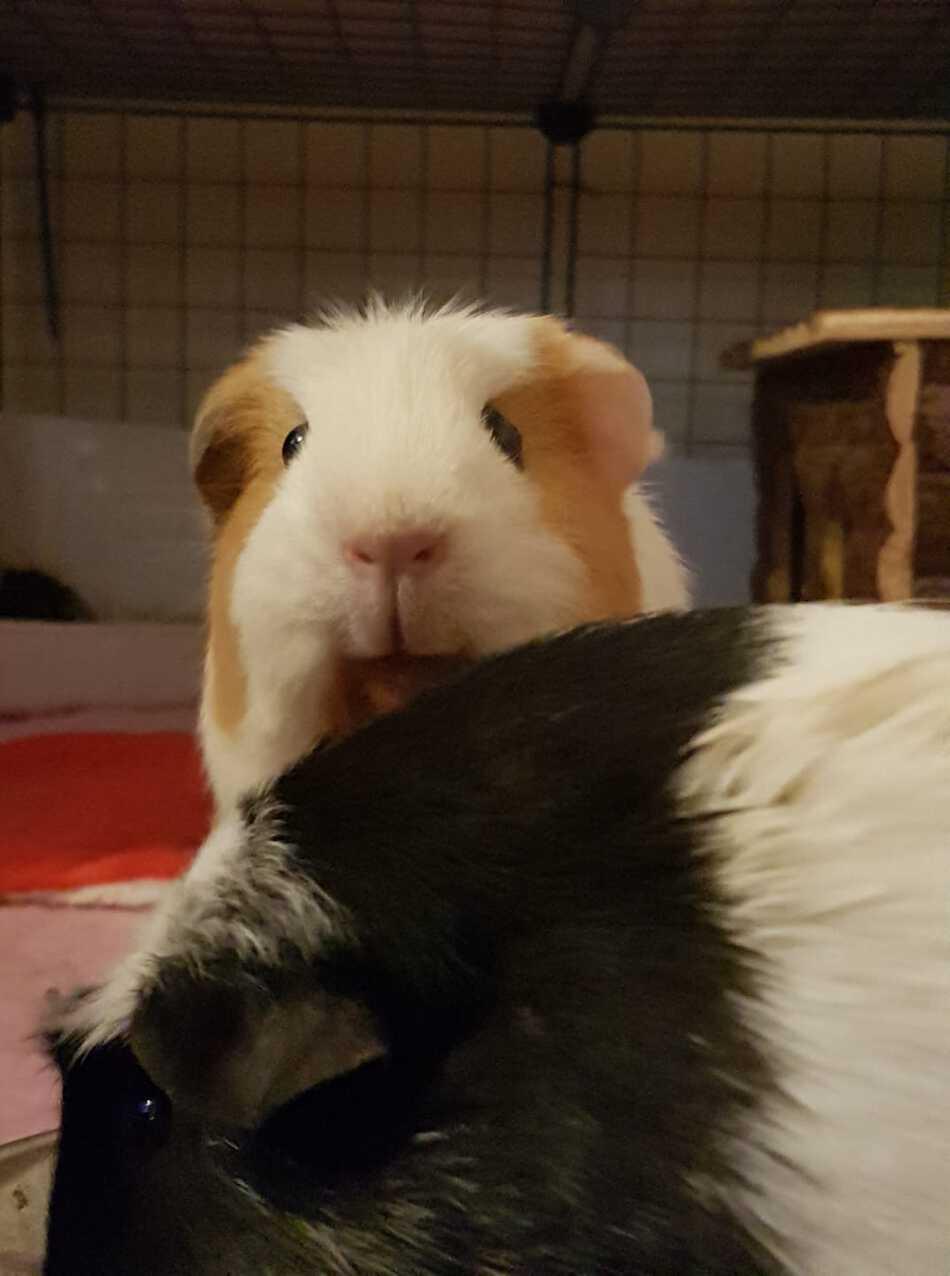 two Guinea Pig